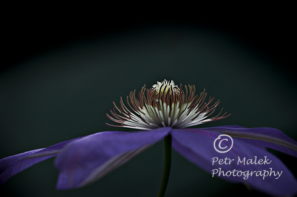 A beautiful open purple clematis flower sillhoueted against a dark background.