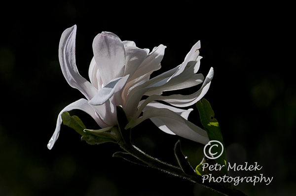 A white Magnolia lit by soft moonlight with the petals appear unsure of whether to close up or stay open for the night.