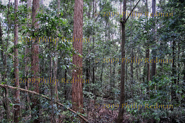 Wall to wall trees in the rainforest near Dungog New South Wales.
