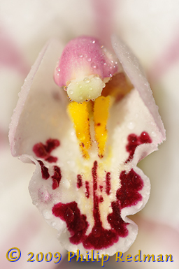Close up of a creamy white Cymbidium Orchid showing the yellow stamen like the legs of a praying with a pink and white head and body covered with raindrops in a vertical format.