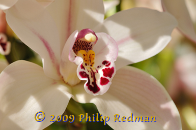 Cymbidium Orchid with creamy pink veined petals with green and pink flowers in the background.