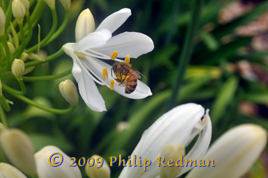 White Agapanthus and a honey bee.